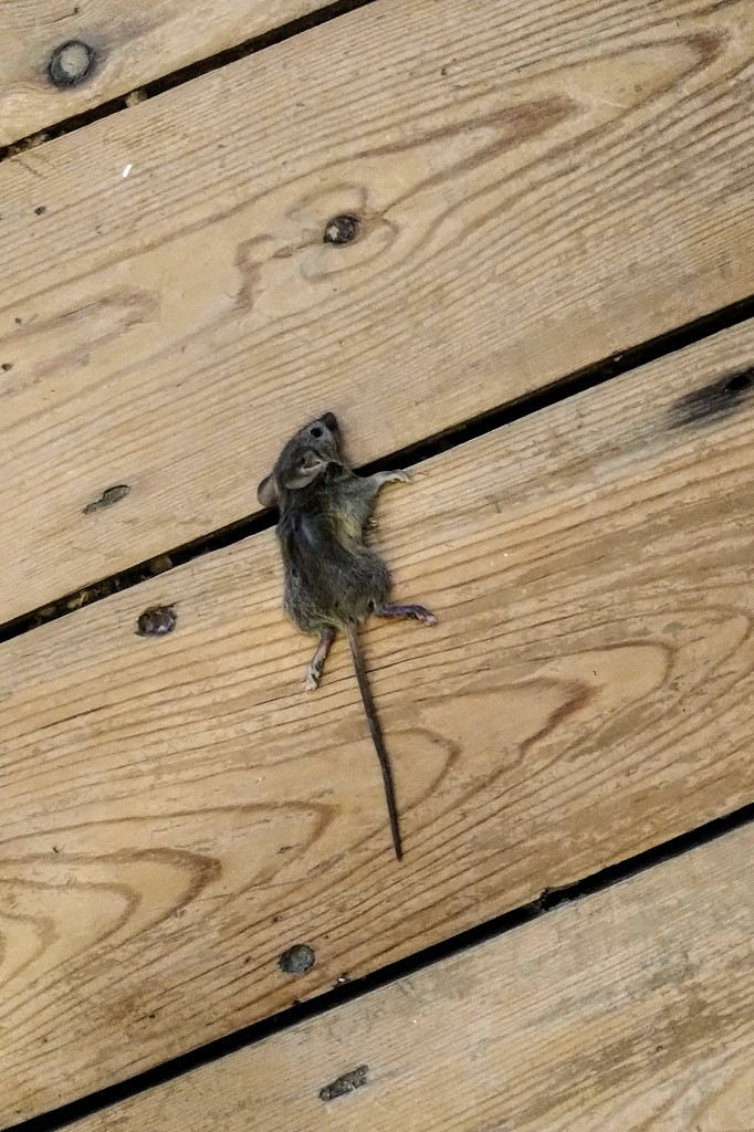 Squashed mouse by boxplayer