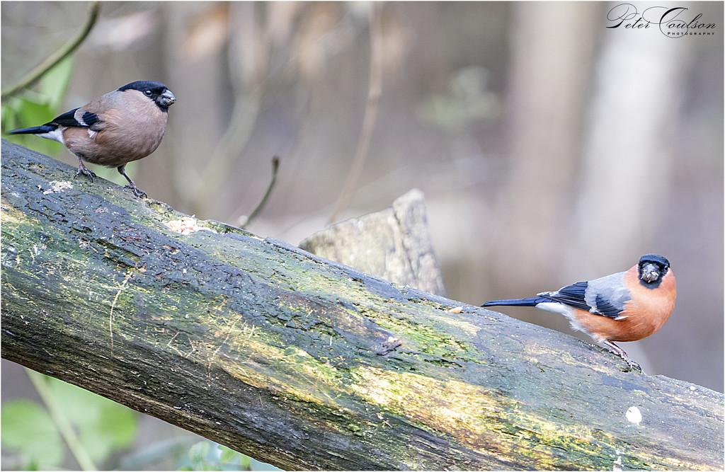 Mr & Mrs Bullfinch by pcoulson
