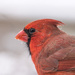 Northern Cardinal in Profile by mgmurray