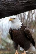 11th Jan 2020 - Bald Eagle