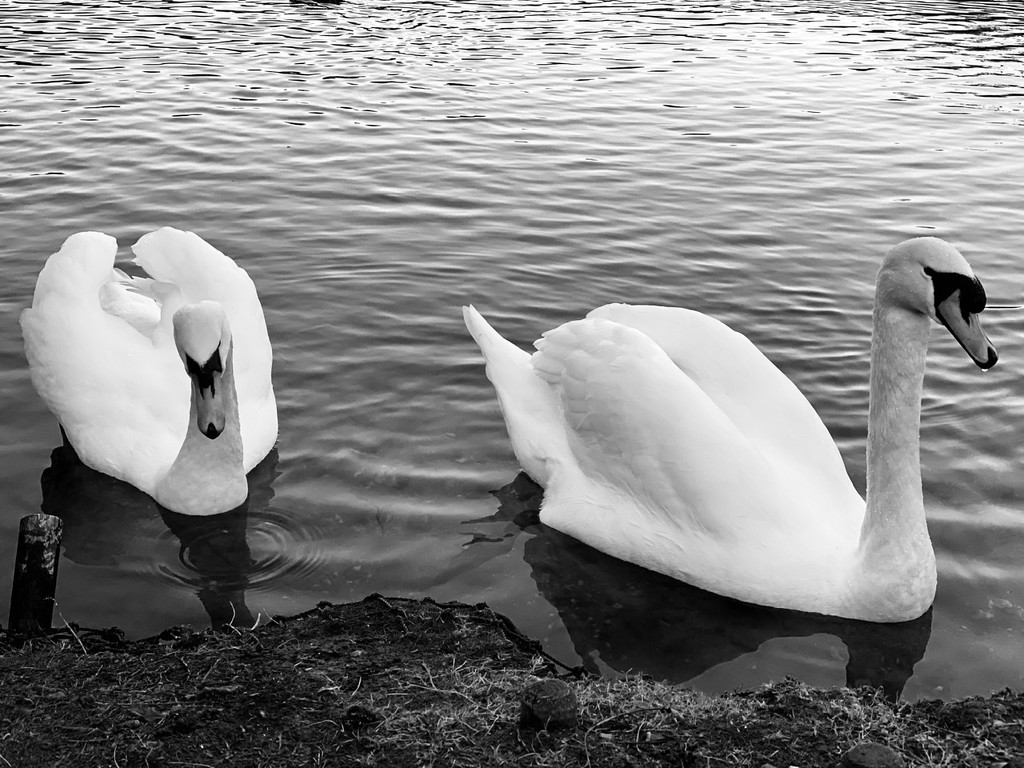 Beautiful Swans  by bizziebeeme