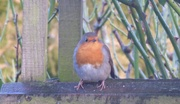 12th Jan 2020 - This Robin is all fluffed up to keep warm in winter weather