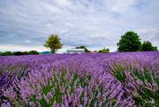 13th Jan 2020 - Alphra Lavender Farm