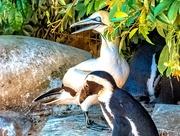 13th Jan 2020 - Gannet and Penguin