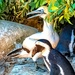 Gannet and Penguin
