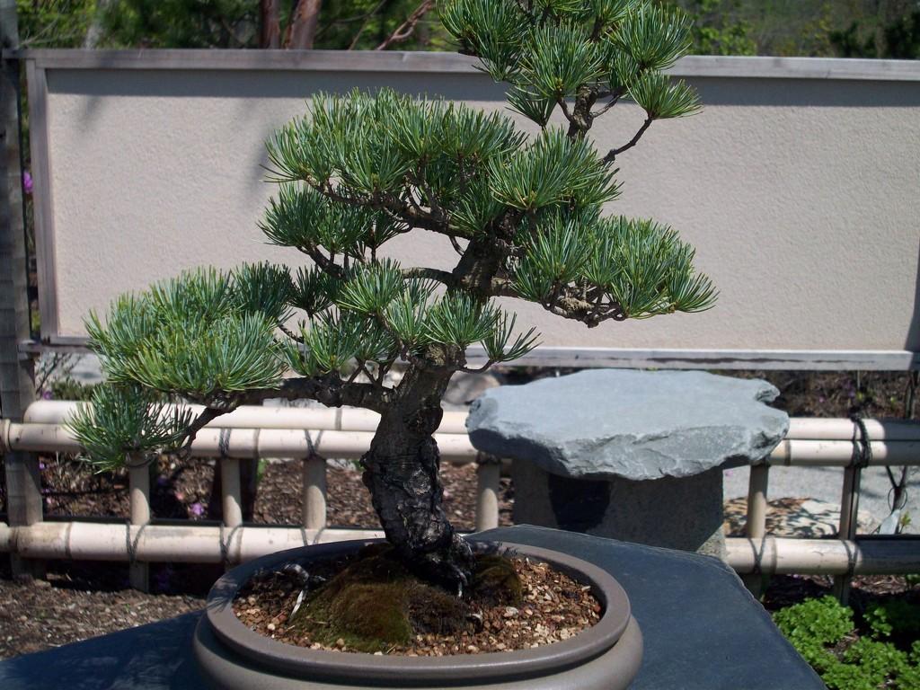 Bonsai tree by stillmoments33
