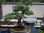 13th Jan 2020 - Bonsai tree