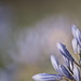January Series - A month of Agapanthus (13)