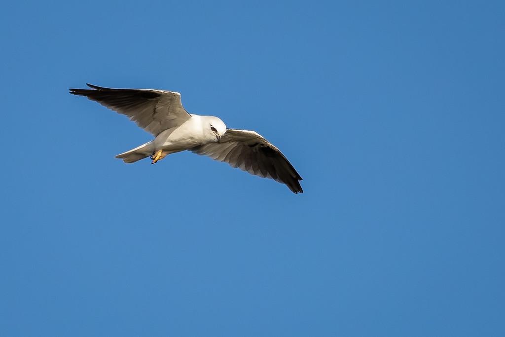 Black Shouldered Kite  by glendamg