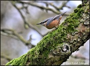 13th Jan 2020 - Nuthatch