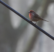 12th Jan 2020 - Male House Finch