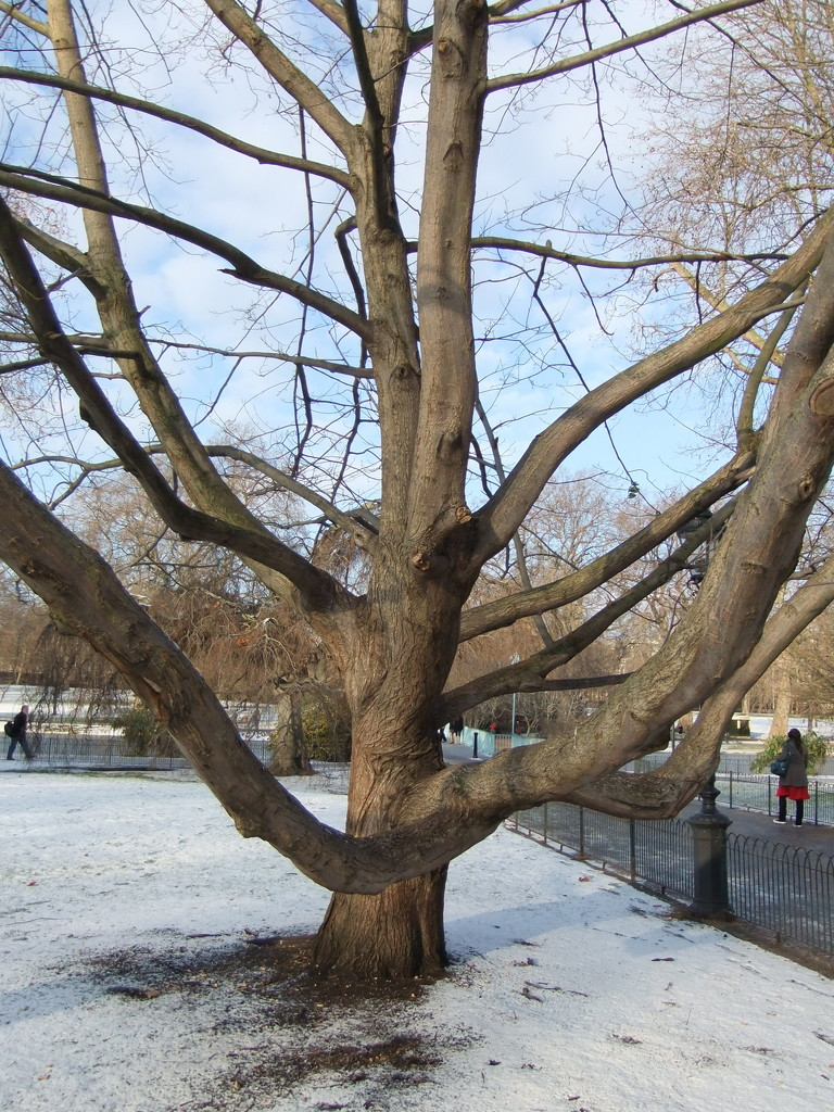 Tree in a frozen St James's Park 2010 by boxplayer