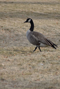 13th Jan 2020 - Canadian Goose