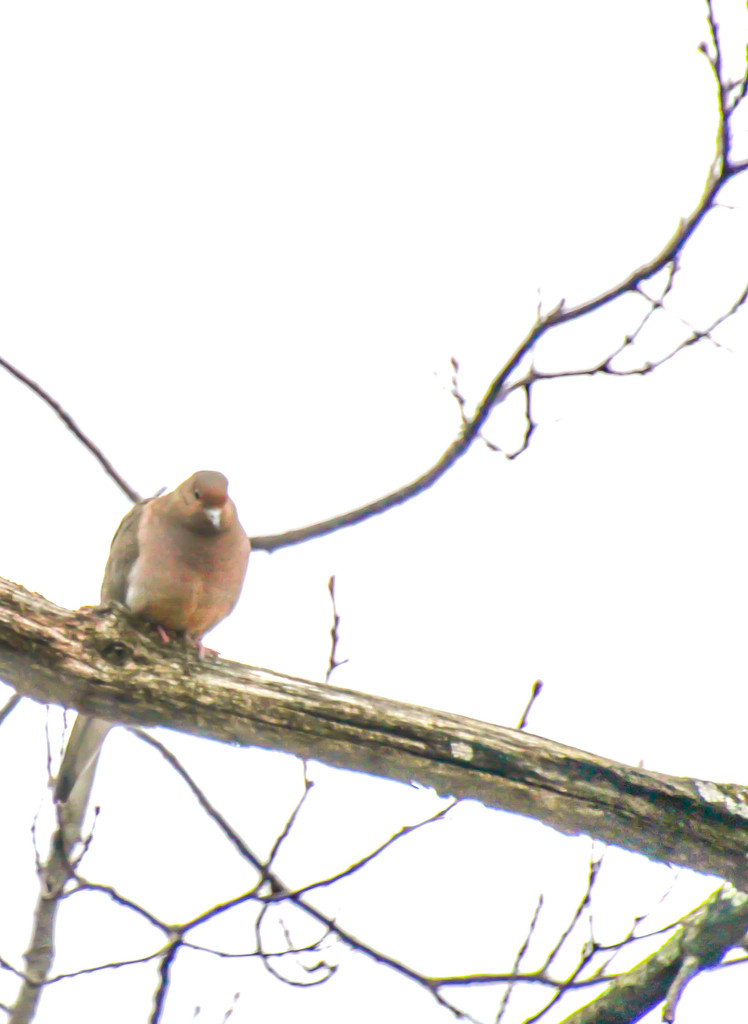 High Key Mourning Dove  by mzzhope