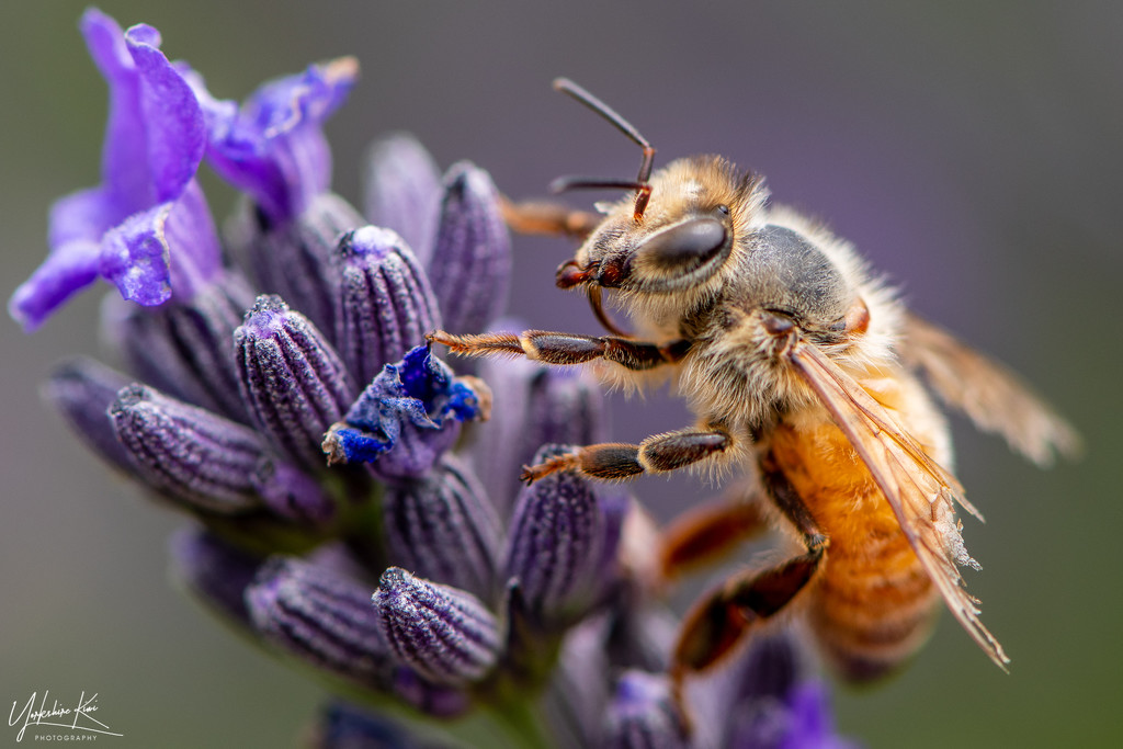 Bee Working the Lavender by yorkshirekiwi