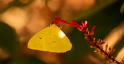 13th Jan 2020 - Sulfur Butterfly Out Enjoying the Warm Temps!