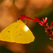 Sulfur Butterfly Out Enjoying the Warm Temps!