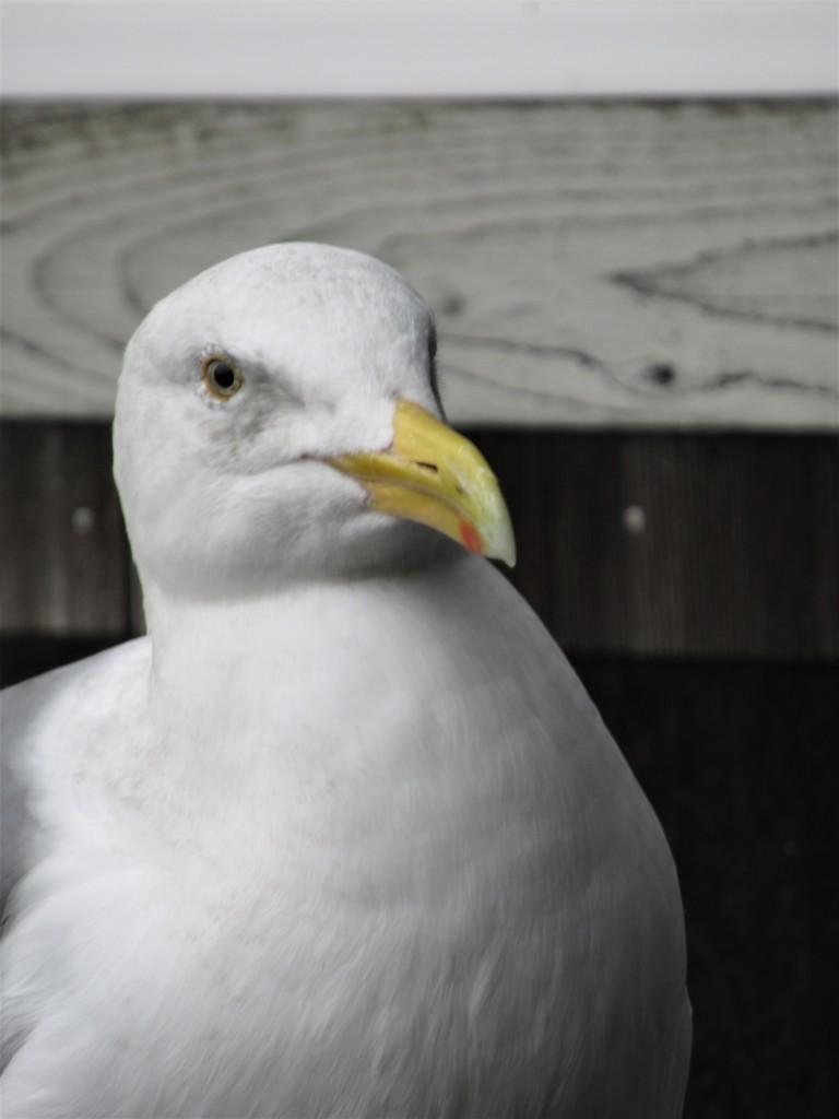 Gull by granagringa