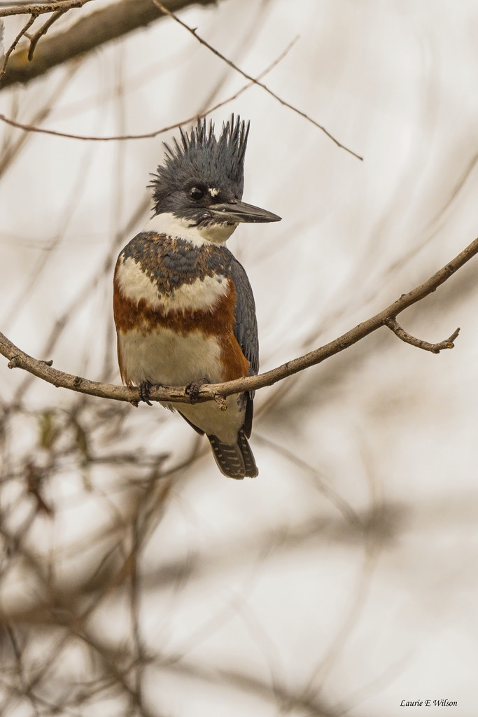 Belted Kingfisher on a Grey Day by laurieewilson