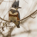 Belted Kingfisher on a Grey Day
