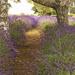 Lavender Farm #4