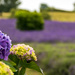 Lavender Farm #3