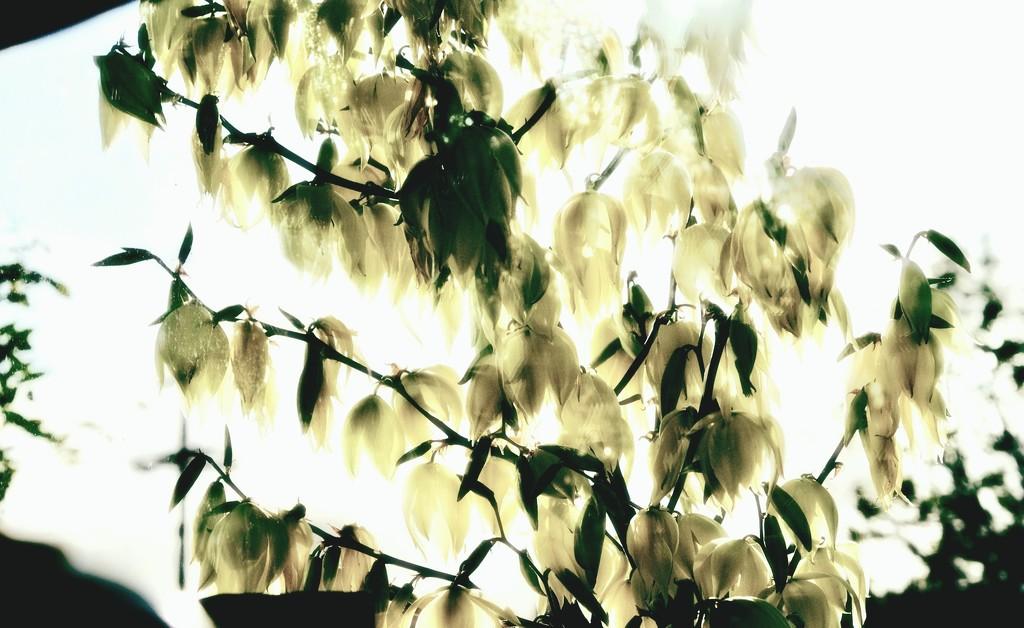 yucca again by maggiemae