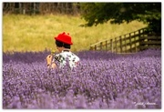 14th Jan 2020 - Colour amongst the Lavender...