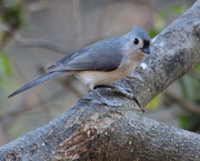 19th Dec 2019 - Friendly Tufted Titmouse