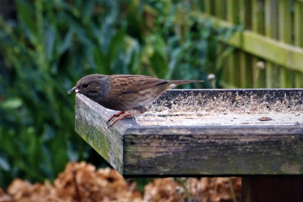 Dunnock  by beryl