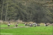 14th Jan 2020 - A gaggle of geese