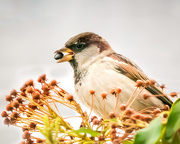 13th Jan 2020 - sparrow with seed