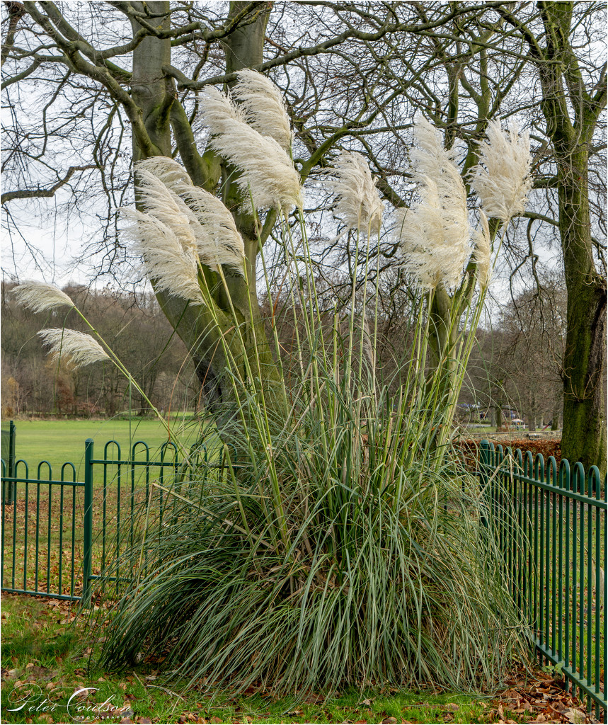 Pampas Grass by pcoulson