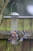 14th Jan 2020 - Long Tailed Tits