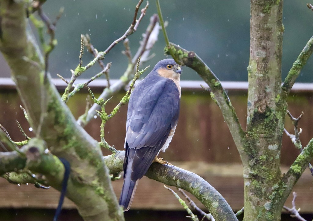Sparrow-hawk in the Rain by carole_sandford
