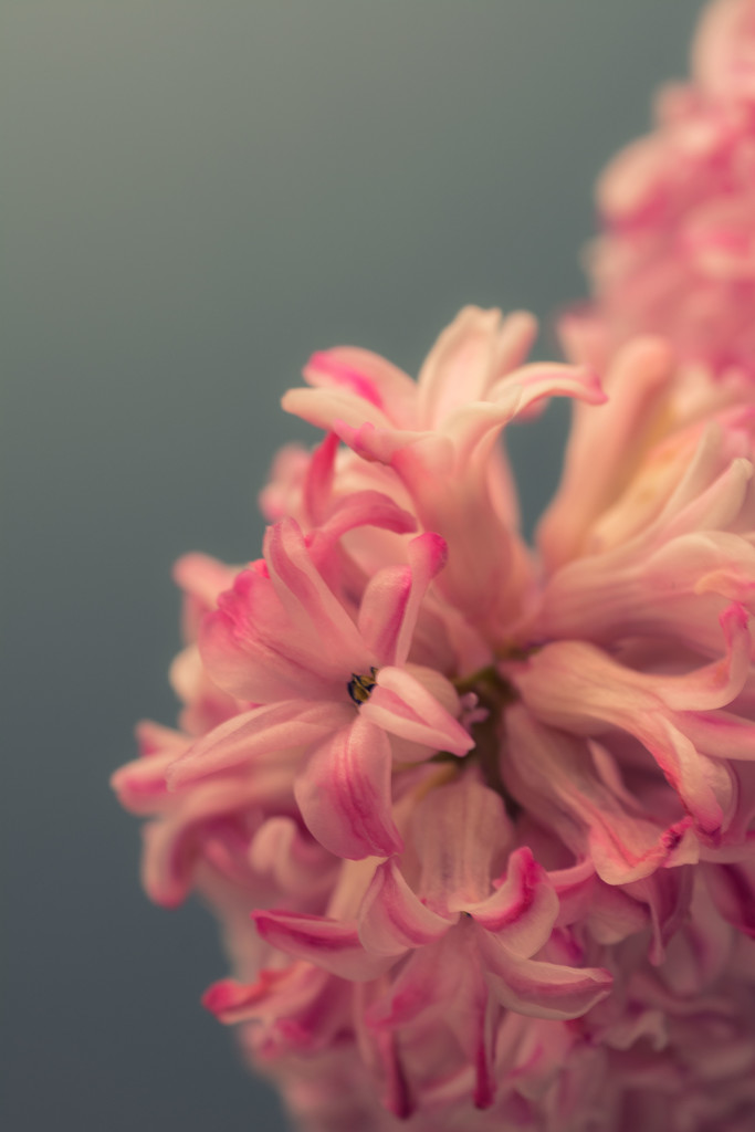 Pink hyacinths by rumpelstiltskin
