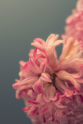 14th Jan 2020 - Pink hyacinths