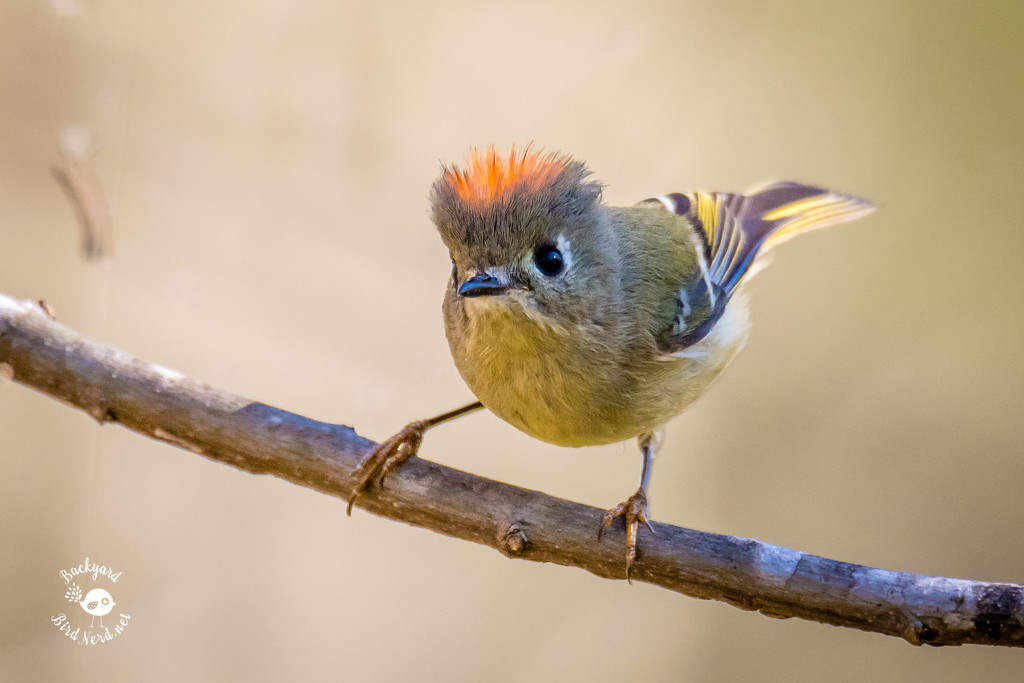 Ruby Crowned Kinglet by backyardbirdnerd