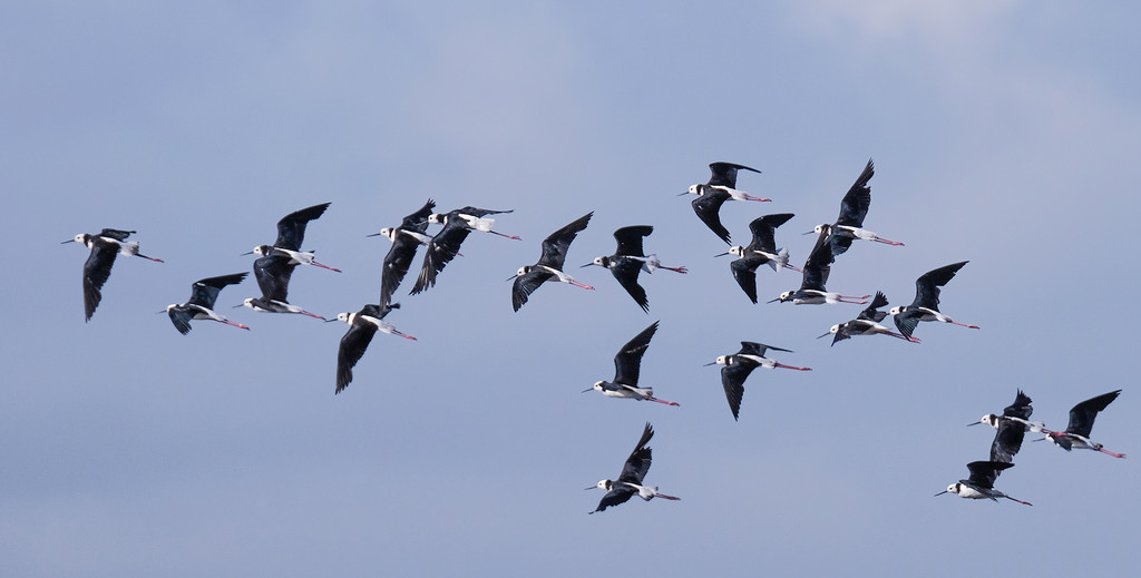 Pied stilts in flight by maureenpp