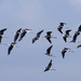 Pied stilts in flight