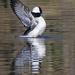 Bufflehead Duck Male Bathing