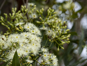 14th Jan 2020 - blooming bloodwood
