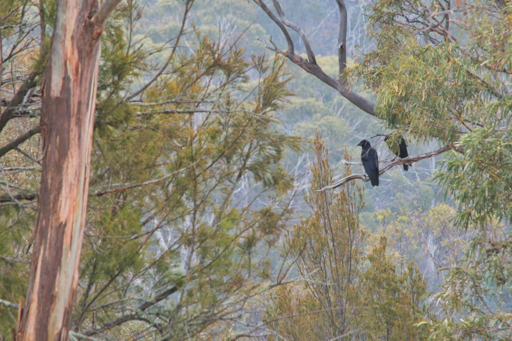 Black Currawong's sit in the big brown tree. by kgolab