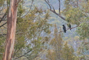 15th Jan 2020 - Black Currawong's sit in the big brown tree.