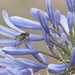 January Series - A month of Agapanthus (15) by kgolab