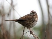 15th Jan 2020 - Sweet Sparrow