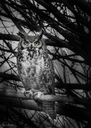 15th Jan 2020 - Great Horned Owl