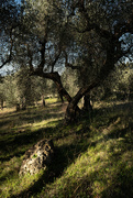 15th Jan 2020 - In the olive grove