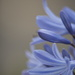 January Series - A month of Agapanthus (16)