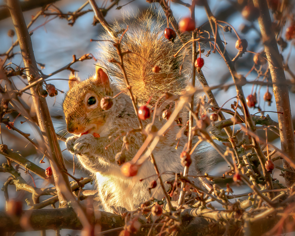 squirrel enjoying the berries by jernst1779